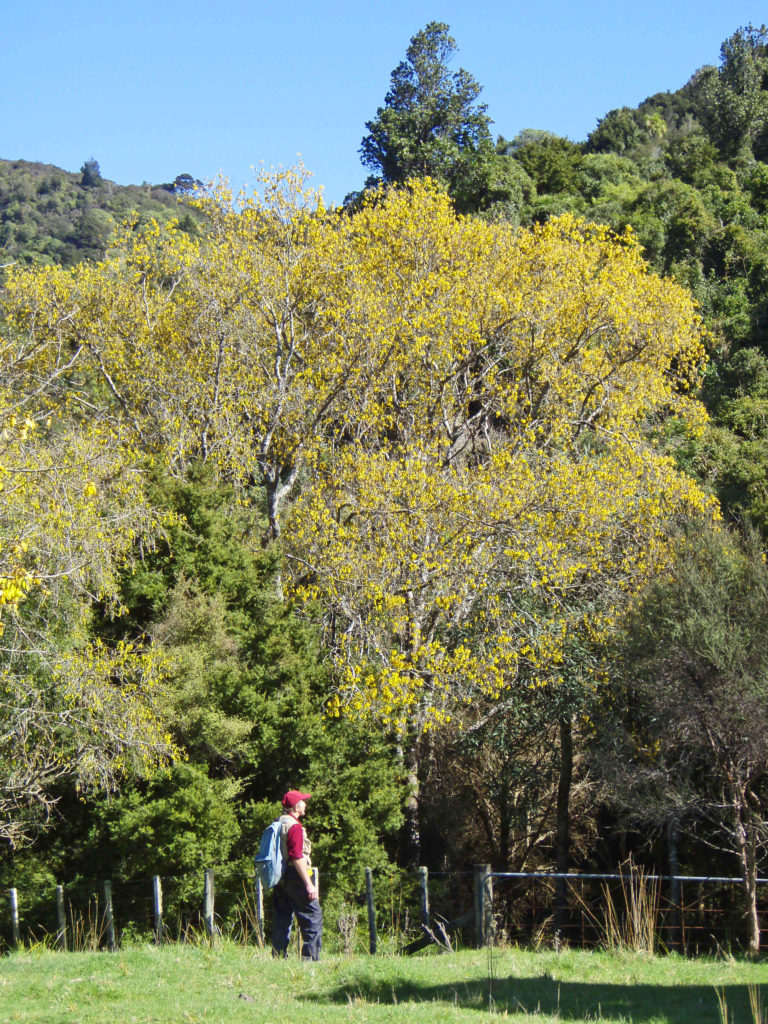 Establishing a bird count station with a flowering kowhai in the background, Hawke's Bay, New Zealand