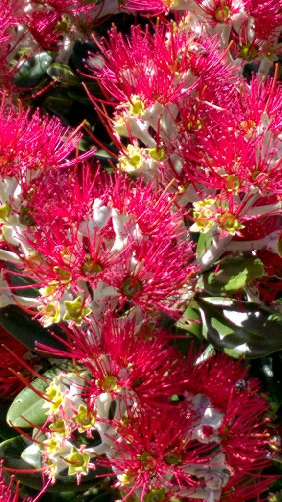 Pohutukawa flowers close-up, Cavalli Islands< New Zealand